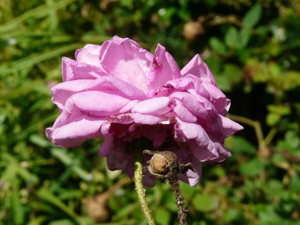 Rosa 'Julie de Mersent'