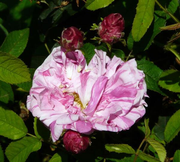 Rosa 'Belle des Jardins'