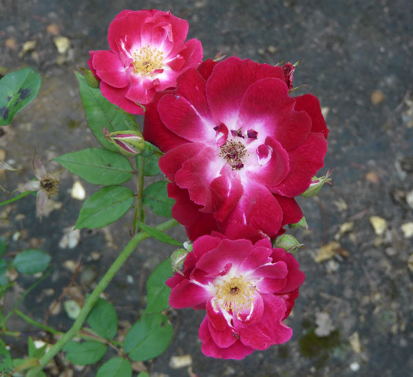 Rosa 'Fabvier'