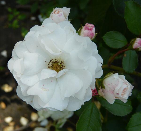 Rosa 'Bordure Blanche ®'