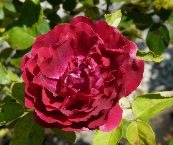 Rosa 'Prince Camille de Rohan'