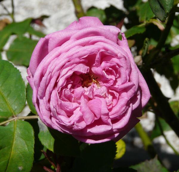 Rosa 'Madame Gabriel Luizet'