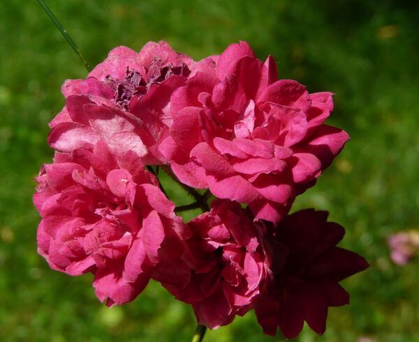 Rosa 'Philadelphia'