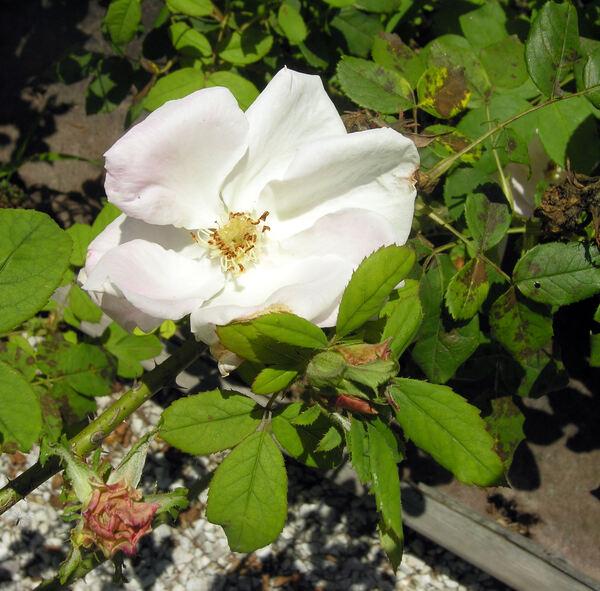 Rosa 'Princess of Wales Perpetual'