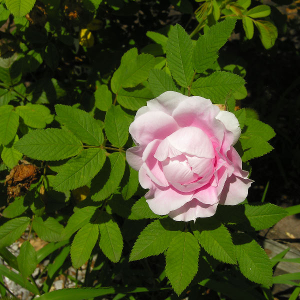 Rosa 'Martin Frobisher'