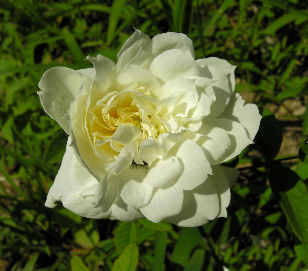 Rosa 'Susan Williams-Ellis ®'