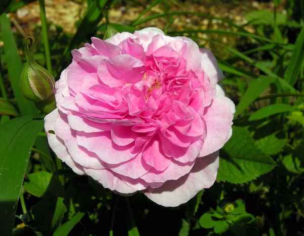 Rosa 'England's Rose ®'