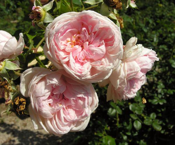 Rosa 'Cinderella ™'