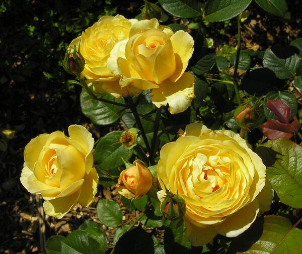 Rosa 'Gene Tierney ®'