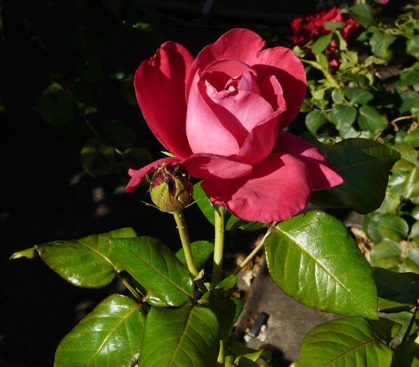 Rosa 'Eddy Mitchell ®'