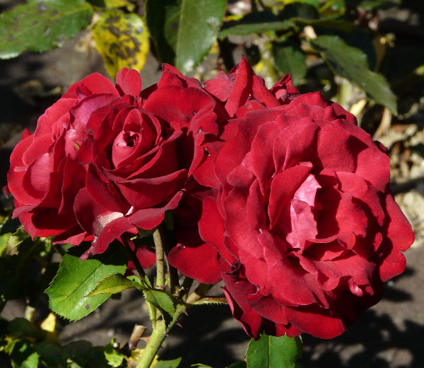 Rosa 'Lübecker Rotspon'