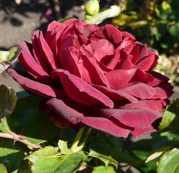 Rosa 'Notturno ®'