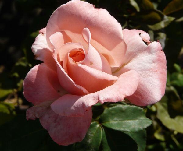Rosa 'Schöne Berlinerin'
