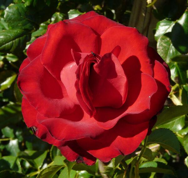 Rosa 'Crimson Cascade'