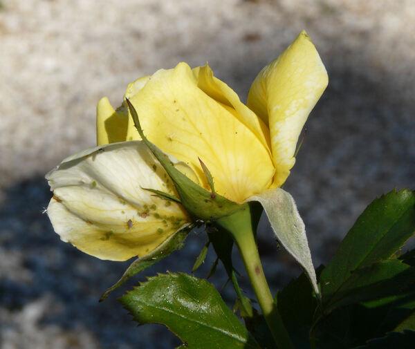Rosa 'Toulouse-Lautrec ®'