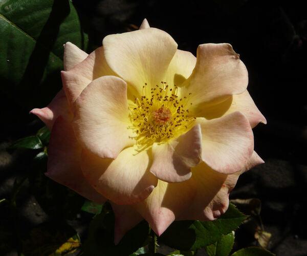 Rosa 'Apricot Queen Interplant'