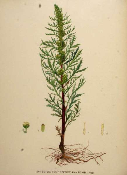 Artemisia tournefortiana Rchb.