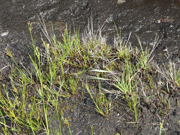 Juncus articulatus L. subsp. articulatus