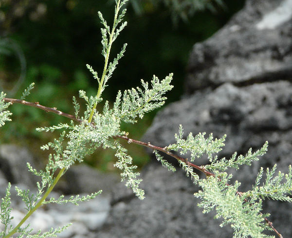 Myricaria germanica (L.) Desv.