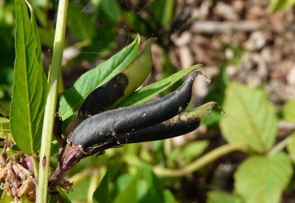 Vicia oroboides Wulfen