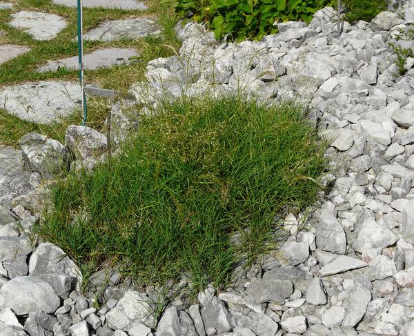 Trisetaria argentea (Willd.) Banfi, Galasso & Soldano