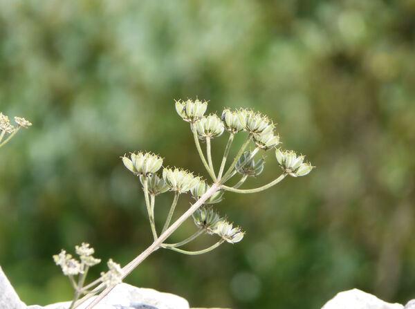 Athamanta cretensis L.
