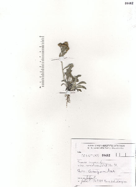 Jacobaea carniolica (Willd.) Schrank
