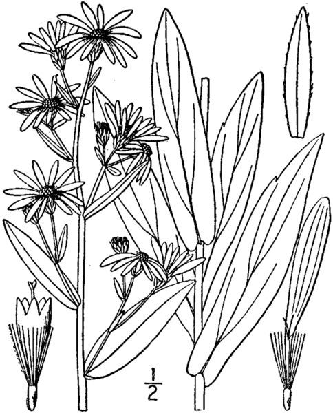 Symphyotrichum laeve (L.) Á.Löve & D.Löve