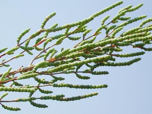 Salicornia procumbens Sm. subsp. procumbens