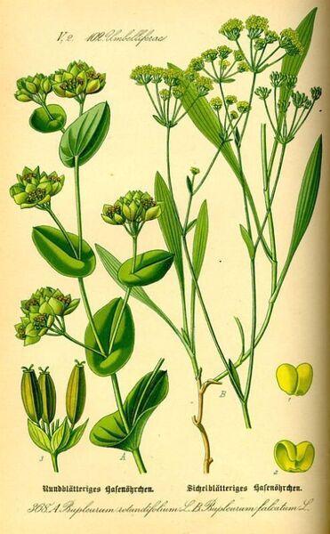 Bupleurum falcatum L. subsp. falcatum