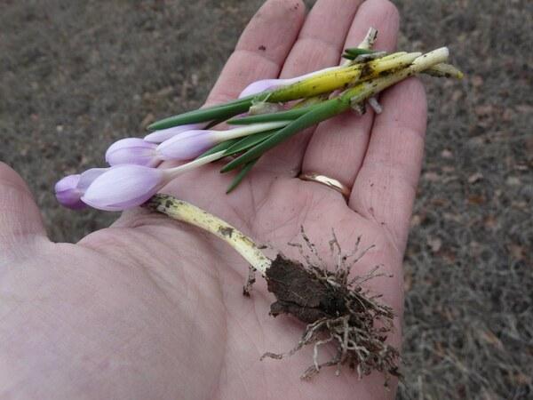 Colchicum triphyllum Kunze