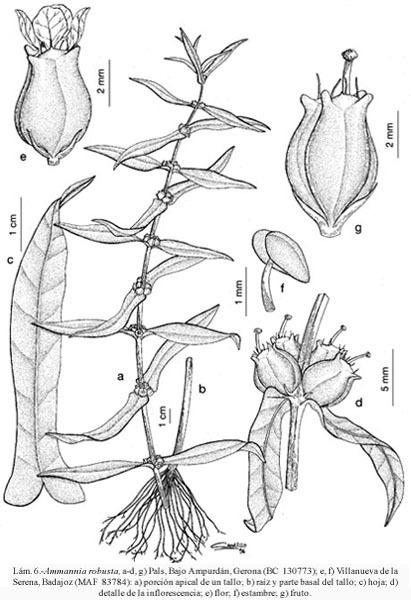 Ammannia robusta Heer & Regel