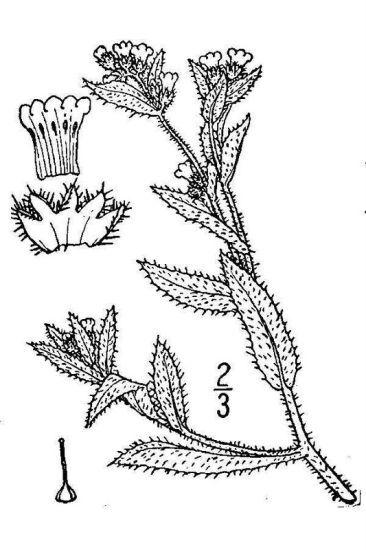 Amsinckia lycopsoides (Lehm.) Lehm.