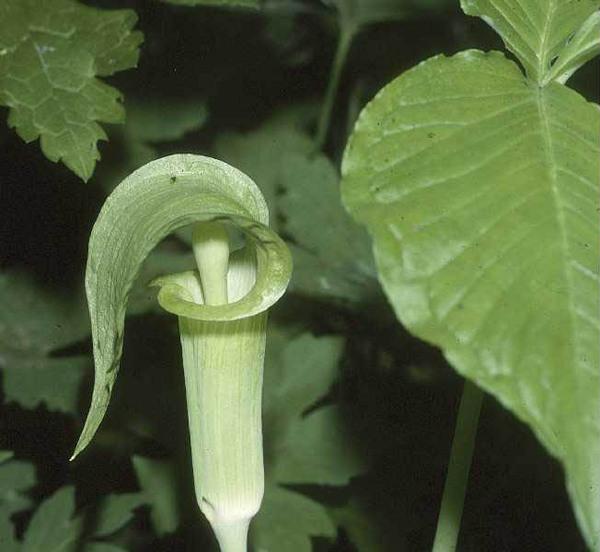 Arisaema triphyllum (L.) Schott