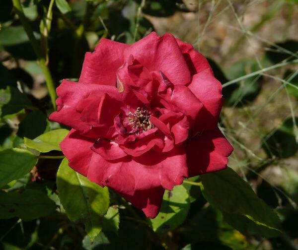 Rosa 'Florence Mary Morse'