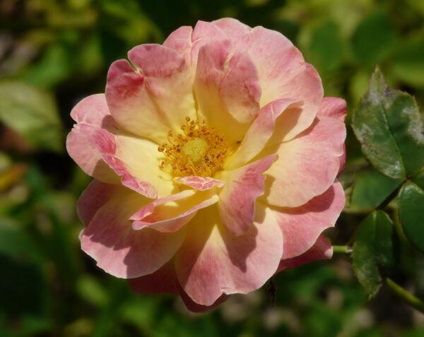 Rosa 'Firlefanz'