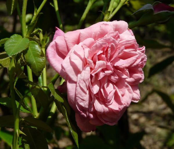 Rosa 'Zaide ®'