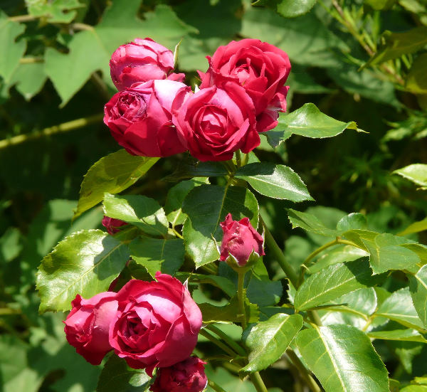 Rosa 'Red Eden Rose'