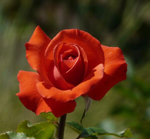 Rosa 'Galia ®'