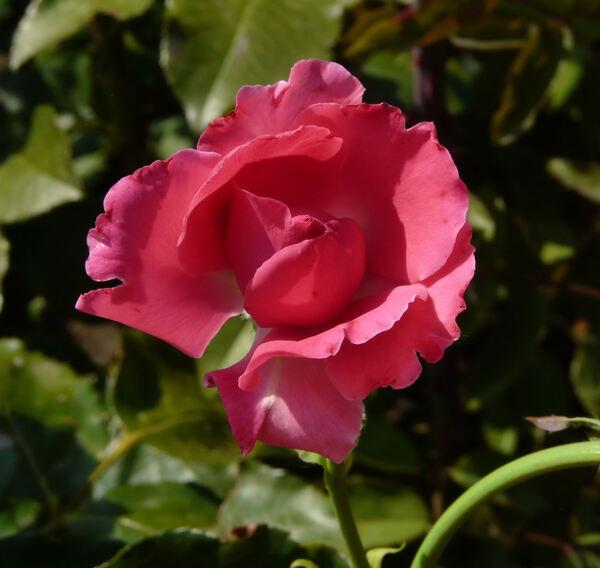 Rosa 'Fragola'