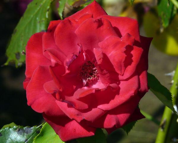 Rosa 'Olympiad ™'