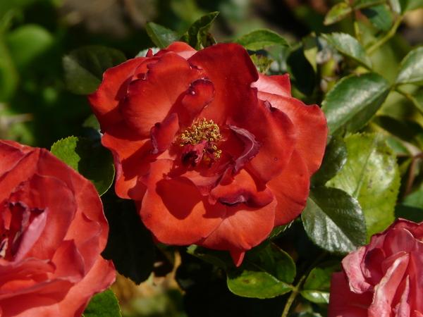 Rosa 'Brown Velvet'