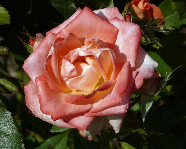Rosa 'Courtoisie des Relais et Châteaux'