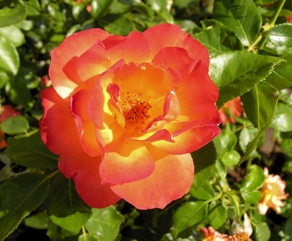 Rosa 'Olympisches Feuer '92'