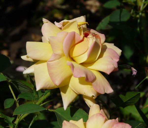 Rosa 'Pierre'