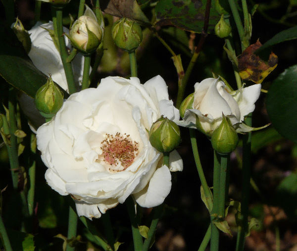 Rosa 'Alice Stern'