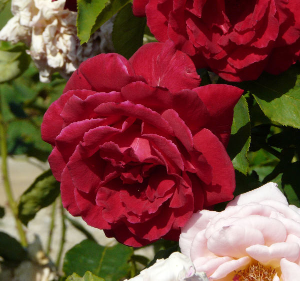Rosa 'Rouge Meilland ®'