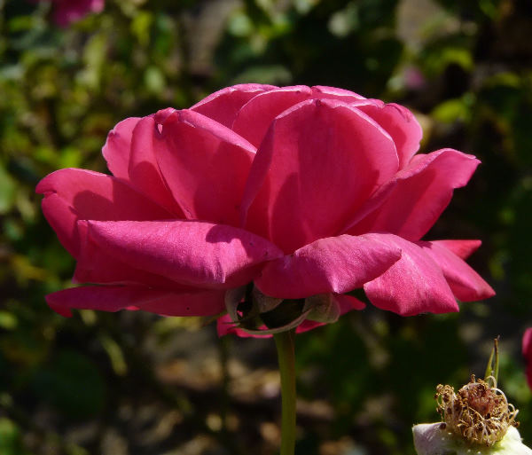 Rosa 'Étoile de France'