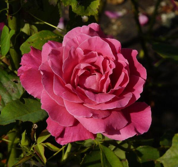 Rosa 'Pink Pearl'