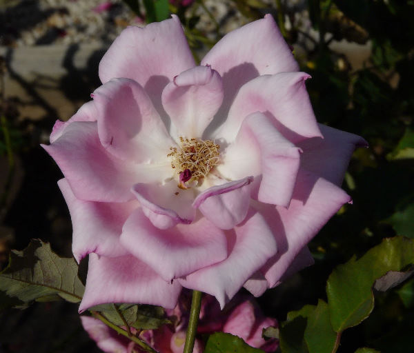Rosa 'Elizabeth of York'